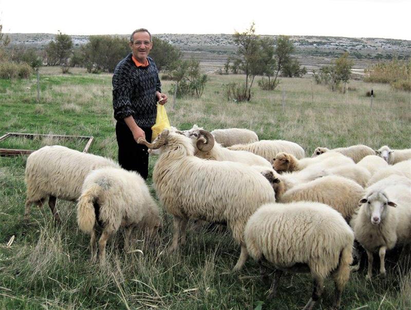 Jedan od paških ovčara sa svojim stadom