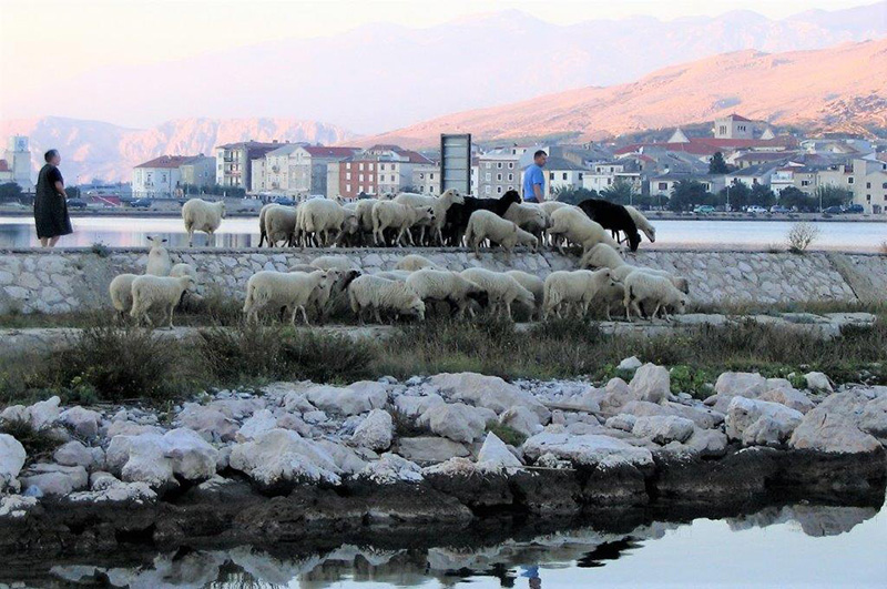 Ovčari sele stado na svježu ispašu.